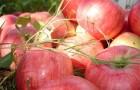 Сорт яблони: Алтынай