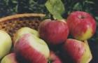Сорт яблони: Анис полосатый (Анис серый)