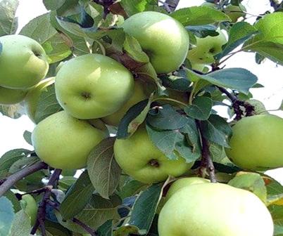 Сорт яблони: Антоновка обыкновенная