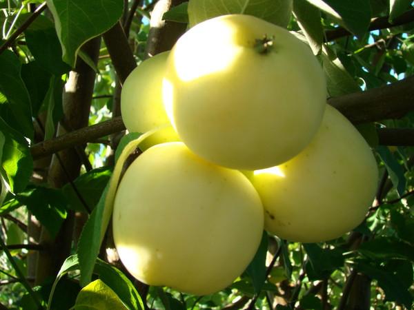 Сорт яблони: Атлантка