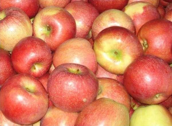 Сорт яблони: Авангард