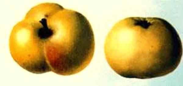 Сорт яблони: Бабушкино