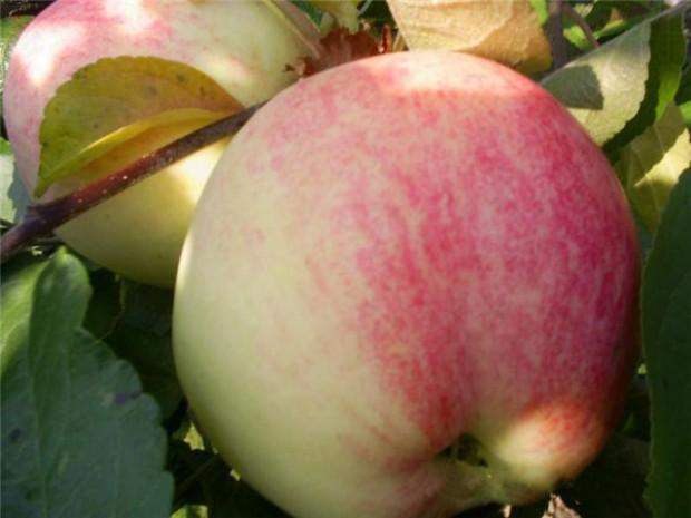 Сорт яблони: Бельфлер-китайка
