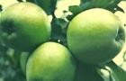 Сорт яблони: Белорусский синап