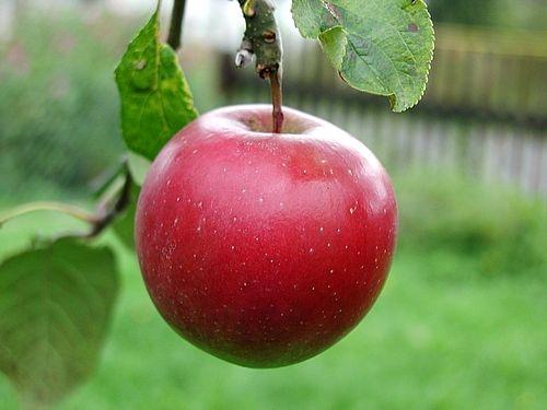 Сорт яблони: Бен-Девис