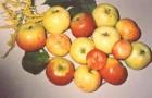 Сорт яблони: Бердское (Ребристое)