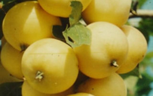 Сорт яблони: Бердское сладкое