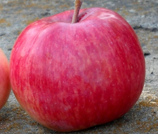 Сорт яблони: Беркутовское