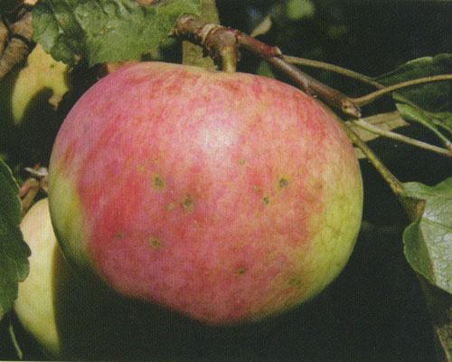 Сорт яблони: Бессемянка мичуринская
