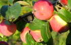 Сорт яблони: Бежин луг