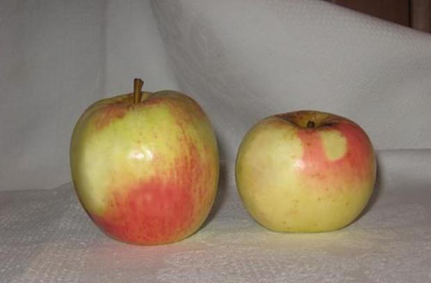 Сорт яблони: Бирское грушевое