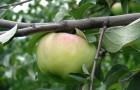 Сорт яблони: Богатырь