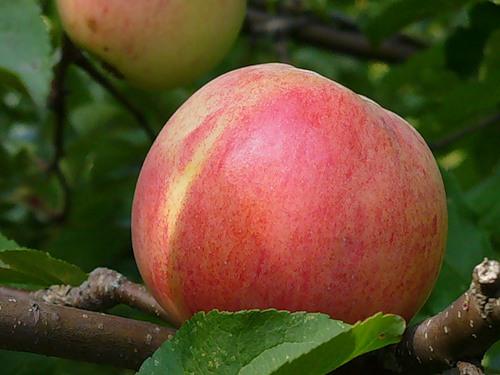 Сорт яблони: Болотовское