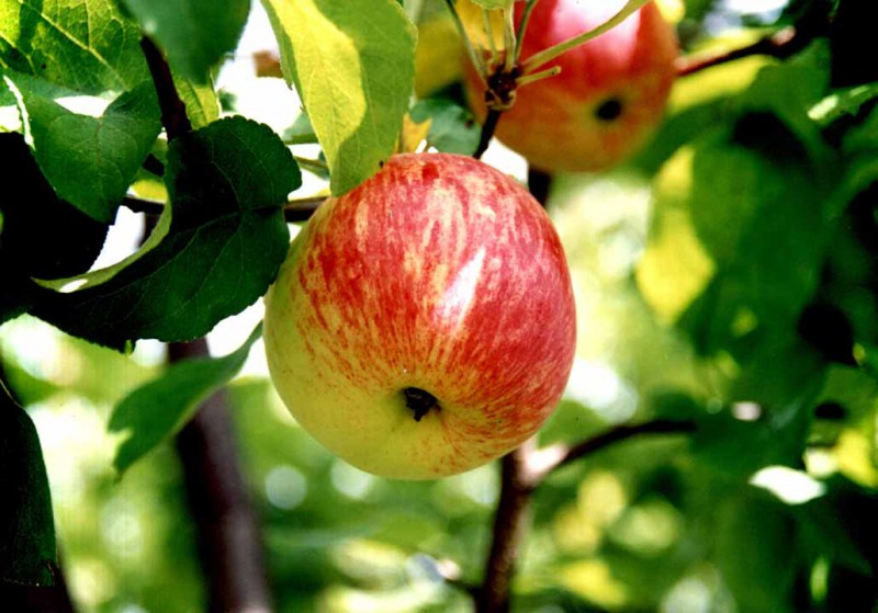 Сорт яблони: Боровинка