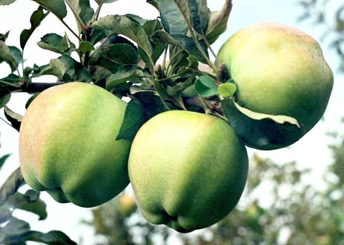 Сорт яблони: Бойкен (Позднее зимнее)