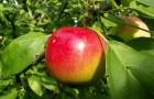 Сорт яблони: Черноморское летнее