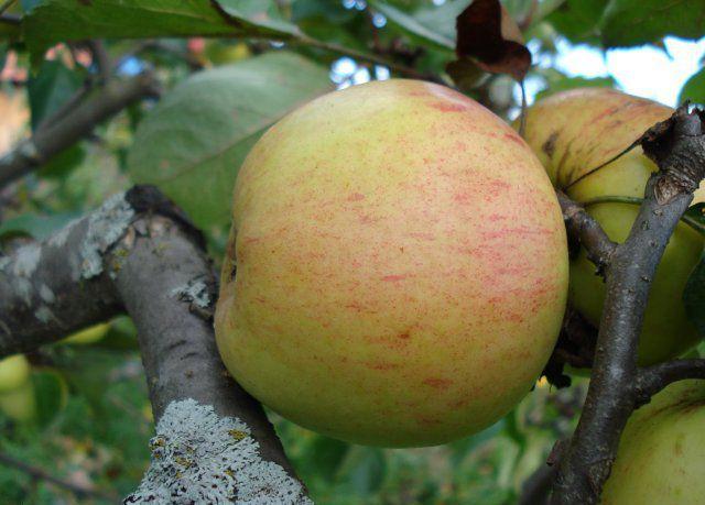 Сорт яблони: Дачная