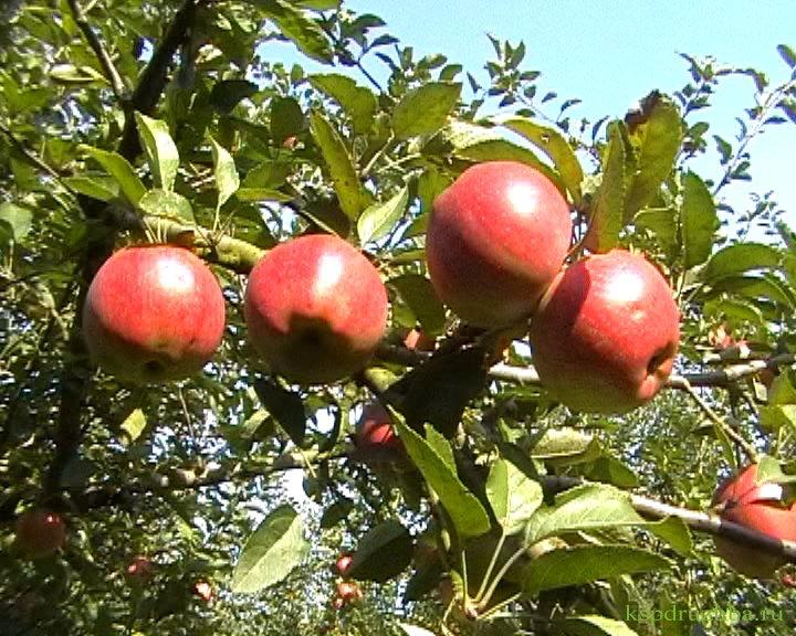 Сорт яблони: Делишес (Превосходное)
