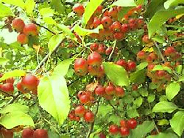 Сорт яблони: Добрыня