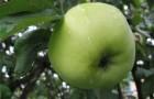 Сорт яблони: Дочь Антоновки (Снежок)