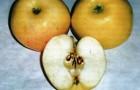 Сорт яблони: Дочь Коричного
