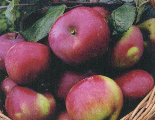 Сорт яблони: Дочь Мекинтоша