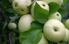 Сорт яблони: Дочь Папировки