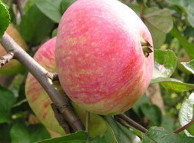 Сорт яблони: Дочь Пепинчика