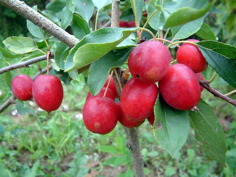 Сорт яблони: Долго