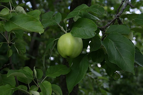 Сорт яблони: Долинское