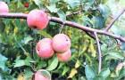 Сорт яблони: Дружба народов