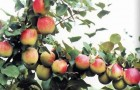 Сорт яблони: Дубровинка (Юбилейное)