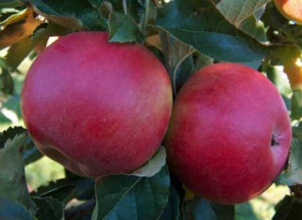 Сорт яблони: Джонатан (Хорошавка зимняя, Осламовское, Зимнее красное)