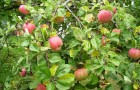 Сорт яблони: Ефремовское (Ефремовское №1)