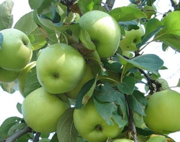Сорт яблони: Феникс алтайский