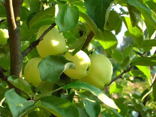 Сорт яблони: Фонарик