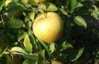 Сорт яблони: Голден Делишес