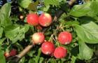 Сорт яблони: Горноалтайское