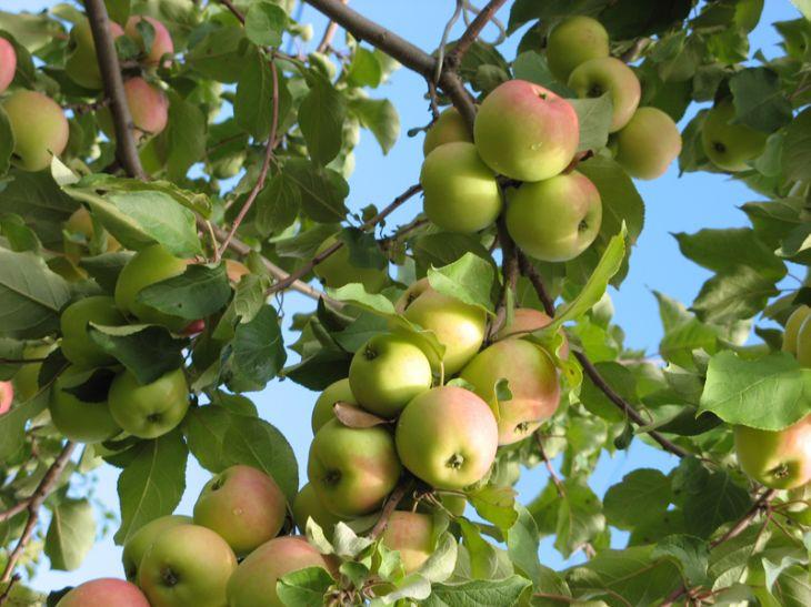 Сорт яблони: Исетское позднее