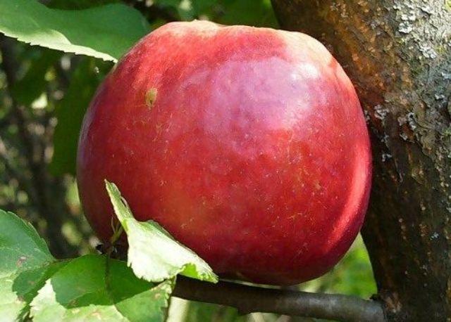Сорт яблони: Июльское Черненко