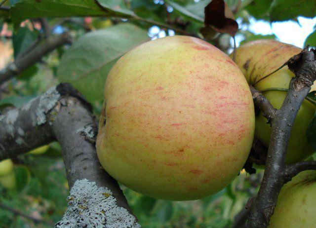 Сорт яблони: Избранница