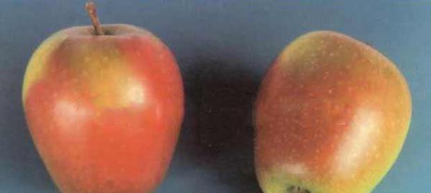 Сорт яблони: Изумительное (Россошанское вкусное)