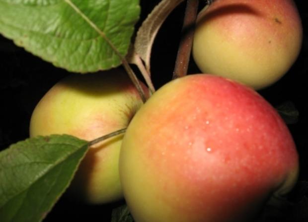 Сорт яблони: Кальвиль нальчикский