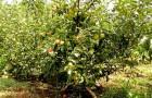 Сорт яблони: Карликовое