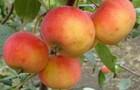 Сорт яблони: Казачка кубанская