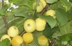 Сорт яблони: Китайка золотая ранняя