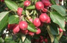 Сорт яблони: Комсомолец Бурятии (Комсомольское)