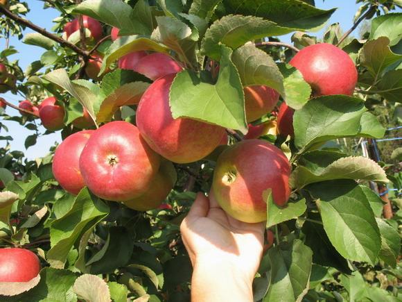 Сорт яблони: Корей