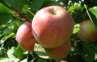 Сорт яблони: Коричное новое