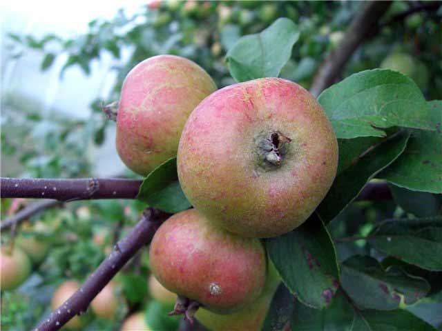 Сорт яблони: Коробовка (Медуничка, Скороспелка)